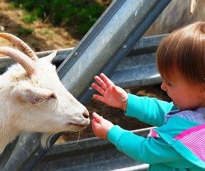 Meet the new animals at Alstede Farms' Springtime Family Festival.