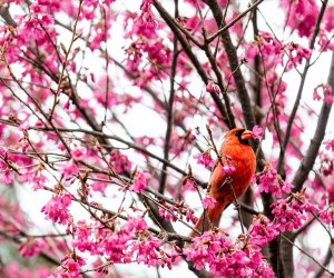 cardinal in cherry tree at the New York Botanical Garden.