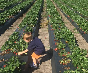 Kids can pick their own strawberries at Oak Haven Farms & Winery. Photo by Charlotte Blanton