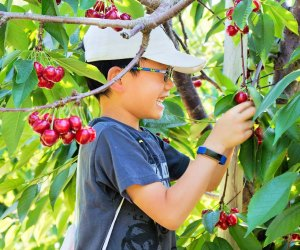 Cherry pie ingredients are ripe for the picking. Photo courtesy of Parlee Farms