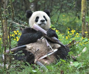 "A giant panda named Qian Qian eats bamboo at her home in the Liziping Nature Reserve in the new IMAX® film, ""Pandas"". Photo by Drew Fellman courtesy of Warner Bros. Entertainment Inc."