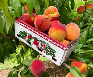 Alstede Farm's orchard overflows with juicy, ripe peaches during the late summer months.
