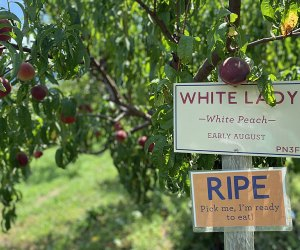 Signs point to ripe peaches at Fishkill Farms