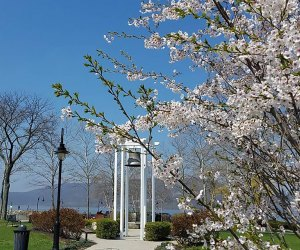 See beautiful blossoms and celebrate spring at the annual Peekskill Cherry Blossom Festival. Photo courtesy of the festival