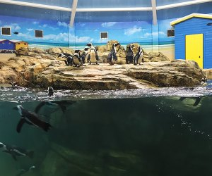 Watch the penguins frolic in and out of the water at the brand-new Shores of Africa exhibit. Photo courtesy of the zoo