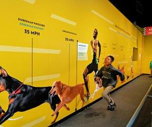 Can you run faster than a dog? Photo by Leroy Hamilton/California Science Center