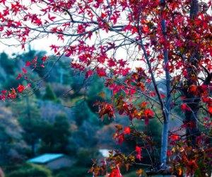 Fall Foliage near Los Angeles: Fall leaves in Julian