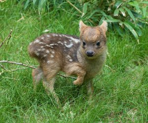 The southern pudo is a tiny deer species at the Queens Zoo