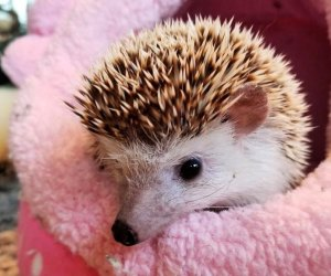 Stop by Earthplace for an animal-themed story and a chance to meet one of their residents, like this pygmy hedgehog. Photo courtesy of Earthplace