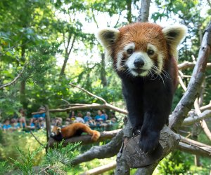 If you're into totally adorable animals visit the red pandas to get your dose of wild cuteness at the Prospect Park Zoo. Photo Julie Larsen Maher for WCS