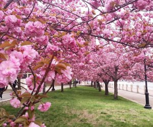 The Cherry Blossoms are a beautiful sight on Roosevelt Island. Photo courtesy of  the RIOC