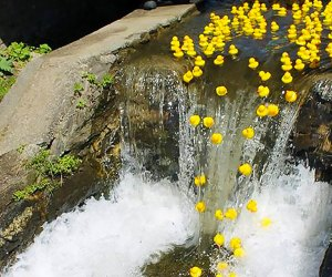 Rubber Ducky Derby Day Ducks go over a waterfall