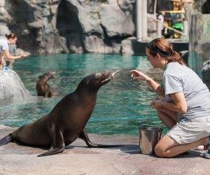 Sea lion training. Photo by Mark Van Bergh/Smithsonian's National Zoo