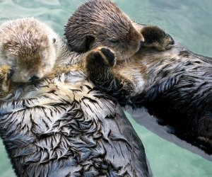 101 Fun Facts That Will Blow Your Kids' Minds: Otters hold hands to sleep