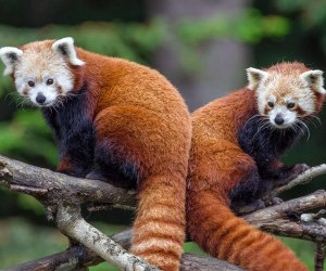 Sequoia Park Zoo's red pandas