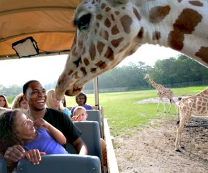 Meet the giraffes at Six Flags Safari Off-Road Adventure. Photo courtesy of Six Flags Great Adventure