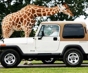 Six Flags Wild Safari Drive-Thru Adventure returns starting May 30 from the comfort of your own car!  Photo courtesy of Six Flags