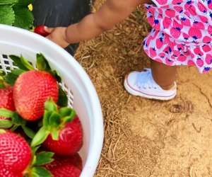 Pick your strawberries  right off the vine at Southern Belle Farm's 12-acre patch.