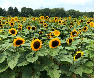 Stony Hill Farm sunflower fields