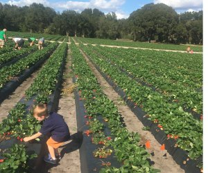 Pick your own strawberries at Oak Haven Farms. Photo by Charlotte Blanton