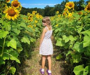 Stroll a nearby sunflower farm in Connecticut. Photo by Ally Noel