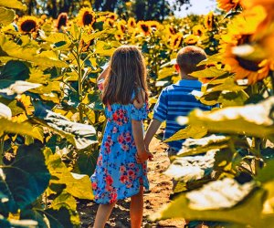 Lose yourself in a patch of sunflowers at Johnson's Locust Hall Farm. Photo by Cody Conk