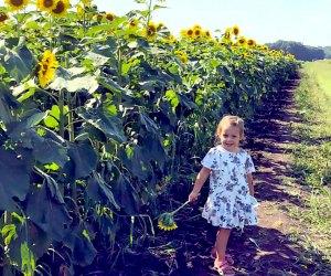 Pick three stems per person at Sunflower Valley Farm.