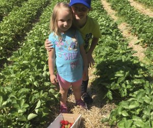 Kids in a berry picking field at Sussex County Strawberry Farm