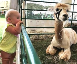 Meet the sweet alpacas at Swallow Hill Farms Alpaca Open House. Photo courtesy of the farm