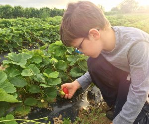 Pick some prize strawberries at Swann Farms.  Photo courtesy of Swann Farms