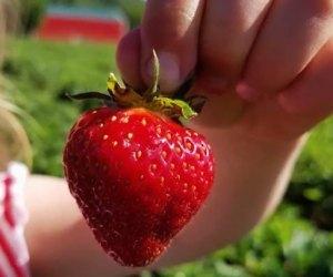 The Strawberry Festival is back at Von Thun Farms. Photo courtesy of the farm