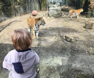 Playful tigers are so close, you feel like you're in the cage with them at the family-friendly Cohanzick Zoo.