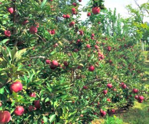 Apple trees ready for picking at Wightman's Farms