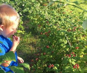 Boy eating berries at Windy Acres Farm