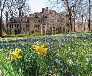The 60-acre garden of Winterthur is just waking up with spring daffodils. Photo by Bob Leitch courtesy of Winterthur