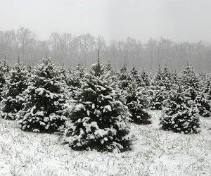 Snow-covered Christmas trees at Woodsedge Tree Farm