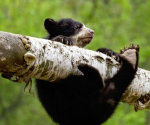 An Andean bear cub gets his bearings on a branch. Photo by Julie Larsen Maher/courtesy of WCS