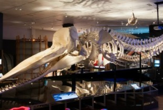 The sperm whale skeleton is almost as long as two school buses; photo courtesy of AMNH/D. Finnin