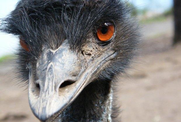 The emu is coming to the Santa Barbara Zoo.