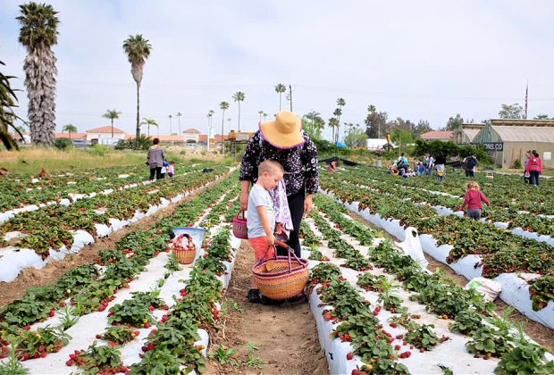 Pick Your Own Strawberries in LA: The Abundant Table