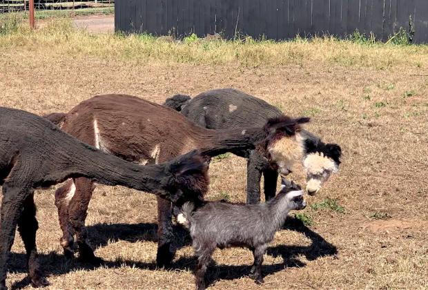 California Vacation Home Rentals for Families: Meet the alpacas.