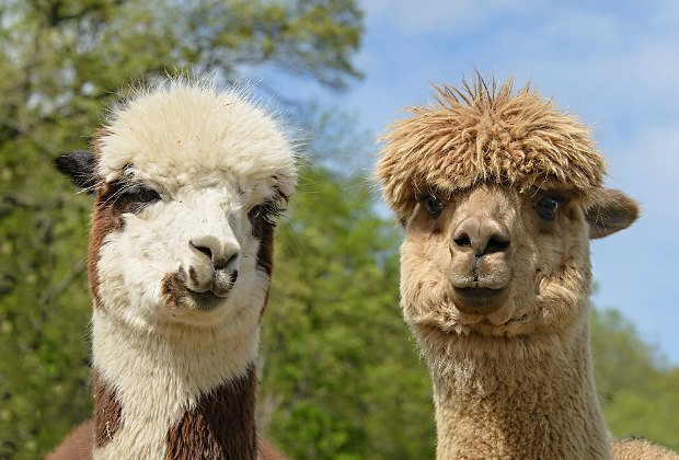 Weekday Fun In Nj Outdoor Movie Frogs Alpacas Berries