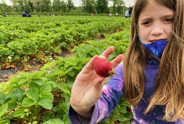 Girl picking strawberries at Alstede Farms
