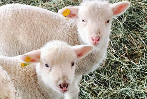 lambs at Alstede Farms nj staycation