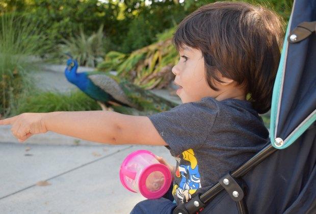 Los Angeles Arboretum peacocks