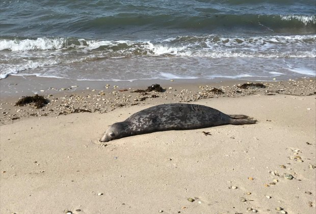 Seal on the beach Seal Watching on Long Island