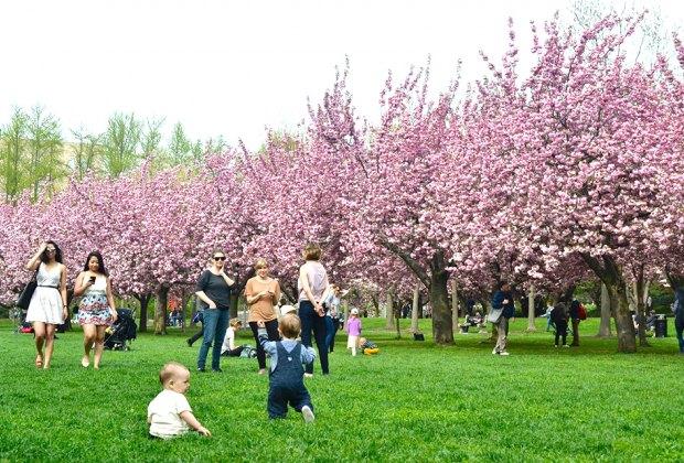 Brooklyn Botanic Garden Cheerry Blossoms