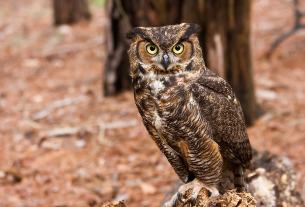 Great Horned Owl in the Woods. Photo via Bigstock