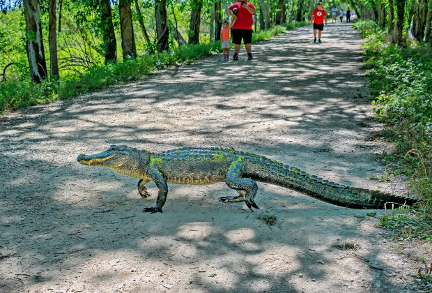 An alligator crosses Spillway Trail in Brazos Bend State Park