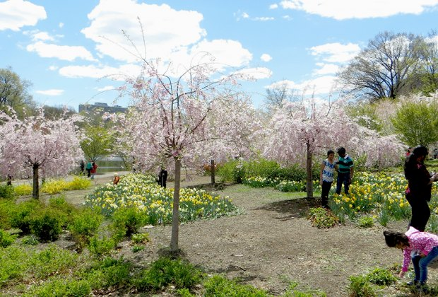 Essex County's Annual Cherry Blossom Festival at Branch Brook Park.